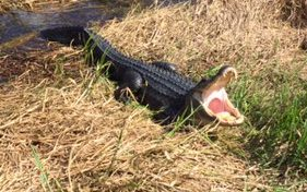 Alligator Yawn?