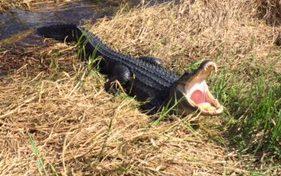 Alligator Yawn?